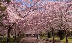 벚꽃 만연한 4월, 벚꽃 여행 코스